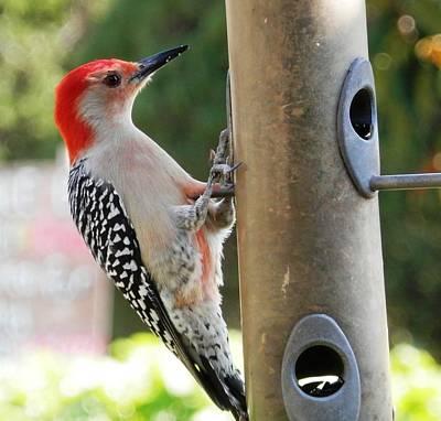 Photograph - Beautiful Red Belly Woodpecker Jr by Belinda Lee