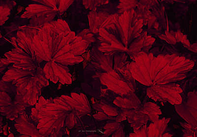Photograph - Beautiful Red Foliage by Jeanette C Landstrom
