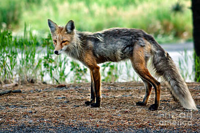 Beautiful Red Fox Print by Robert Bales