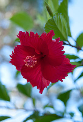 Photograph - Beautiful Red Hibiscus by John Black