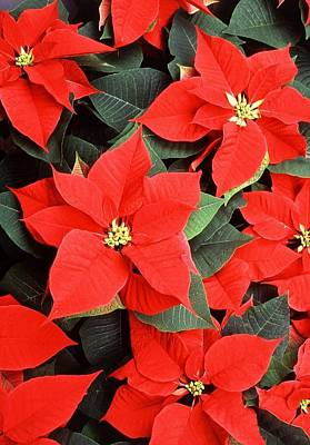 Photograph - Beautiful Red Poinsettia Christmas Flowers by Taiche Acrylic Art