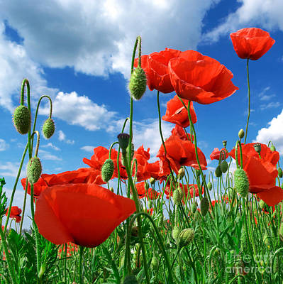 Beautiful Red Poppies Art Print by Boon Mee
