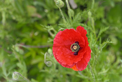 Photograph - Beautiful Red Poppy Papaver Rhoeas by Marianne Campolongo