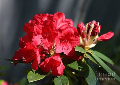 Photograph - Beautiful Red Rhododendron by Carol Groenen