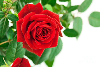 Beautiful Red Roses Flower Print by Boon Mee