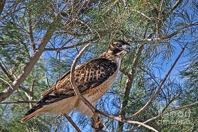 Photograph - Beautiful Red-tailed Hawk by Robert Bales
