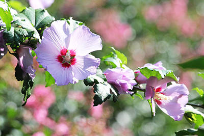 Photograph - Beautiful Rose Of Sharon by Trina  Ansel