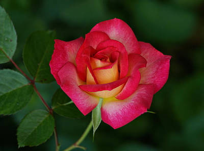Photograph - Beautiful Rose by Sandy Keeton