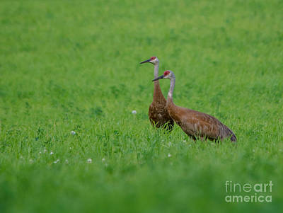 Photograph - Beautiful Sandhill Cranes by Cheryl Baxter