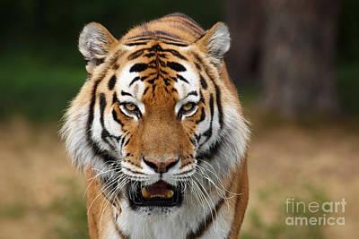 Beautiful Siberian Tiger Print by Boon Mee