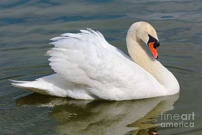 Swans Photograph - Beautiful Silky Swan by Carol Groenen