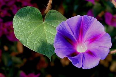 Photograph - Beautiful Single Morning Glory Flower And Leaf by Tracey Harrington-Simpson