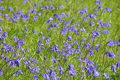 Photograph - Beautiful Spring Purple Bluebell Flower Scotland by Schwartz Nature Images