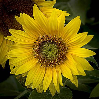 Photograph - Beautiful Sunflower by Jatinkumar Thakkar