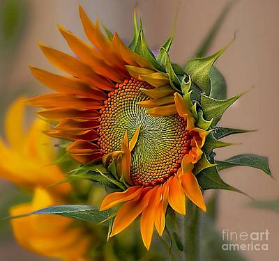 Beautiful Sunflower Art Print by John  Kolenberg