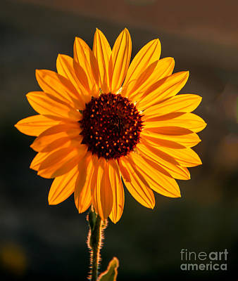 Haybale Photograph - Beautiful Sunflower by Robert Bales