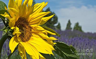 Photograph - Beautiful Sunflower And Lavender Fields Art Prints by Valerie Garner