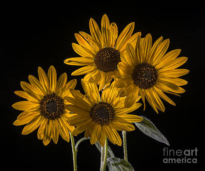 Beautiful Sunflowers On Black Art Print by Vishwanath Bhat
