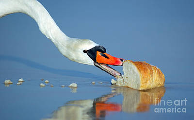 Amazing Photograph - Beautiful Swan Eating Bread by Michal Bednarek