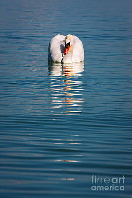 Swan Photograph - Beautiful Swan Reflecting In The Water by Jan Brons