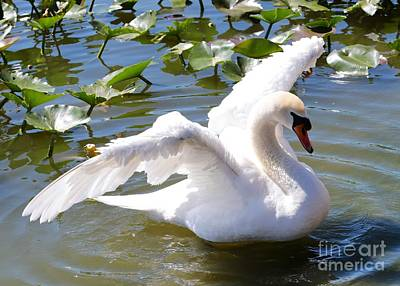 Glassy Wing Photograph - Beautiful Swan Wings by Carol Groenen