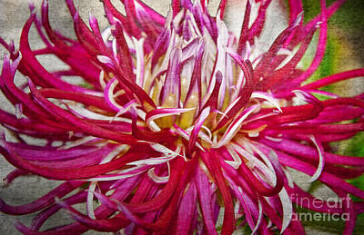 Photograph - Beautiful Texturized Red Spider Dahlia Flower Macro by Valerie Garner