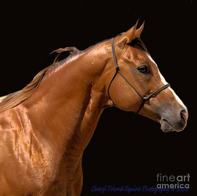Photograph - Beautiful Thoroughbred by Cheryl Poland