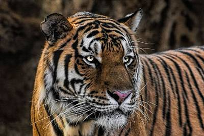 Print featuring the photograph Beautiful Tiger Photograph by Tracie Kaska