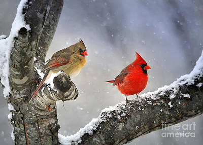 Cardinal Photograph - Beautiful Together by Nava Thompson