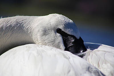 Photograph - Beautiful Trumpeter Swan by Sue Harper