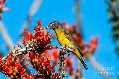 Photograph - Beautiful Warbler by Robert Bales