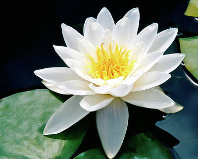 Beautiful Water Lily Capture Art Print by Ed  Riche