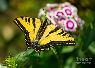 Beautiful Western Tiger Swallowtail Butterfly On Spring Flowers. Art Print by Jamie Pham