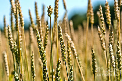 Photograph - Beautiful Wheat by Cheryl Baxter