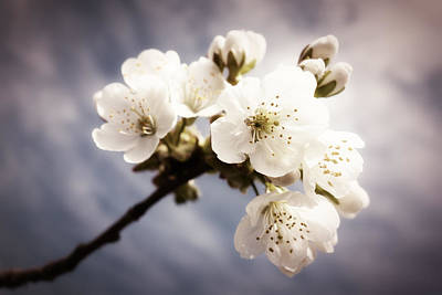 Photograph - Beautiful White Blossoms by Matthias Hauser