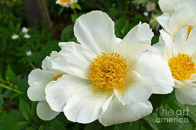 Digital Art - Beautiful White Peony by Eva Kaufman