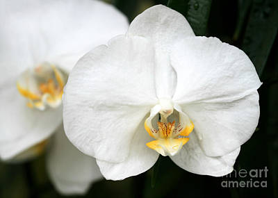 Photograph - Beautiful White Phanaenopsis Orchids by Sabrina L Ryan