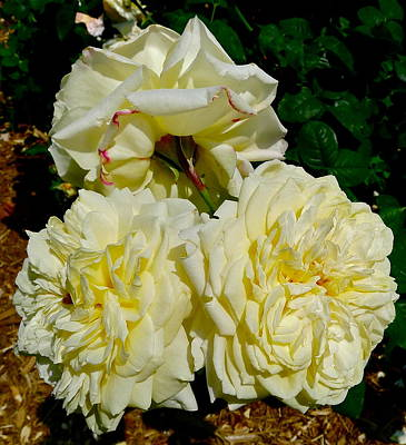 Photograph - Beautiful White Roses by Denise Mazzocco