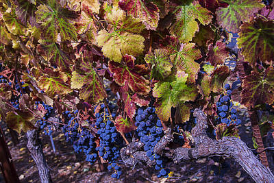 Grapevine Photograph - Beautiful Wine Grapes by Garry Gay