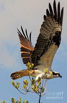 Ospreys Wall Art - Photograph - Beautiful Wings by Quinn Sedam