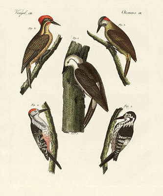 Woodpecker Drawing - Beautiful Woodpeckers by Splendid Art Prints