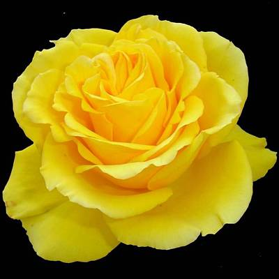 Beautiful Yellow Rose Flower On Black Background  Art Print by Tracey Harrington-Simpson