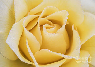 Beautiful Yellow Rose With Dew Drops Print by Vishwanath Bhat