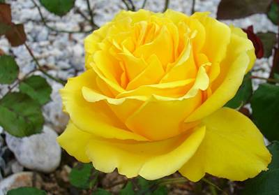 Photograph - Beautiful Yellow Rose With Natural Garden Background by Tracey Harrington-Simpson