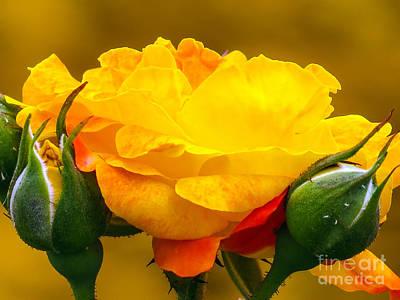 Beautiful Yellow Rose Art Print