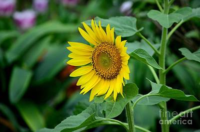 Photograph - Beautiful Yellow Sunflower In Full Bloom by Imran Ahmed