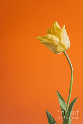 Photograph - Beautiful Yellow Tulip On Orange by Vishwanath Bhat