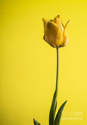 Photograph - Beautiful Yellow Tulip On Yellow by Vishwanath Bhat