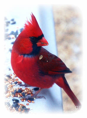 Photograph - Beautiful Young Male Cardinal by Peggy Franz