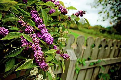 Photograph - Beauty Berries by Steven Llorca